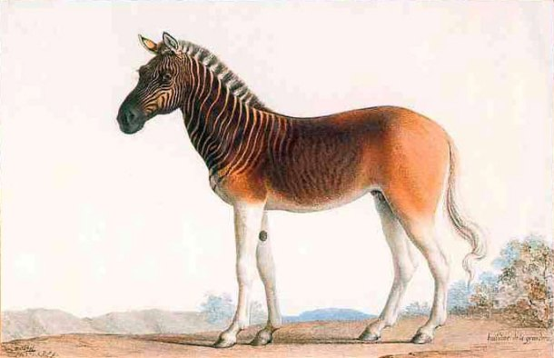 Painting of a Quagga